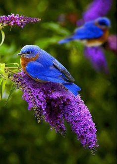 Blue birds on purple flowers.