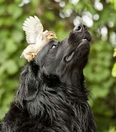 A dog with a chick on its head. - Rex Features