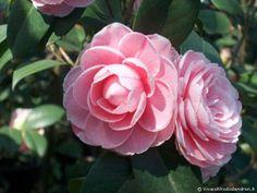 Camellia japonica 'Stella di Compito' (Italy, 1867)