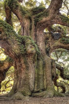 * * > If I thought I was going to die tomorrow; I would nevertheless plant a tee. [Girard Drew Old Oak Tree, Old Trees, Oak Tree Symbolism, Forests, Tree Angel, Angel Oak Trees, Spiritual Advisor, Giant Tree, Big Tree