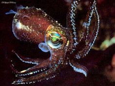 Bottle Tailed Cuttlefish
