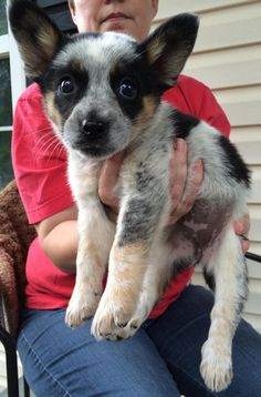 Meet Ears, a Petfinder adoptable Australian Cattle Dog (Blue Heeler) Dog Bellmawr, NJ The adoption fee is $400 and includes the first set of shots and a Spay/Neuter Voucher if local to...