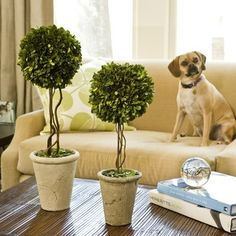 Indoor topiary-and cute pup that looks kind of like Jameson!