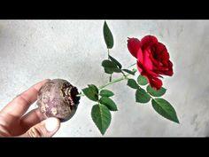 Use of onion peel for plants House Plants, Plants, Garden, Miniature Garden, Natural Fertilizer, Dream Garden, Trees To Plant, Flowers, Garden Plants