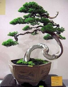 This Chinese Juniper bonsai exudes the grace of zen.