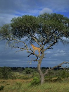 Hahnemuhle PHOTO RAG Fine Art Paper (other products available) - Cheetah in a tree, Kruger National Park, South Africa, Africa - Image supplied by WorldInPrint - Fine Art Print on Paper made in the UK Mama Africa, Out Of Africa, South Africa, Kenya Africa, Africa Art, African Animals, African Safari, Kruger National Park, National Parks