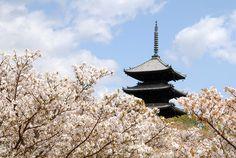 仁和寺 五重の塔をバックにした御室桜は、江戸時代から変わらない風景でもあり壮観な眺め  #京都 #春 #kyoto #spring #japan