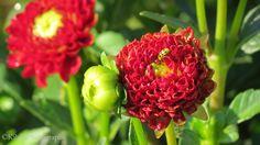 The Dahlia and the Ladybug, red Kibibi Photography Missouri Botanical Garden, All Pictures, Dahlia, Ladybug, Chakra, Bloom, Floral, Flowers, Plants