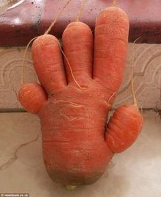 Hands up for the carrot . The five-fingered vegetable which was grown in Shropshire -