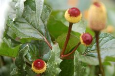 The toothache plant (Spilanthes acmella) in the Victory Garden packs an extra punch - bite into the cone-shaped flowers & your mouth goes numb! The burgundy and gold inflorescence contain spilanthol, which causes numbness, excessive saliva, and a feeling of dry-mouth. We tried it and the effect is similar to Orajel, which makes sense given Spilanthes traditional use as a toothache remedy.