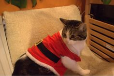 Winnie the Christmas cat! Leith Library #Festivefurballs competition entry from @thebuddster