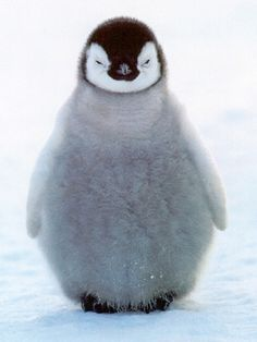 Aww little fat baby penguin