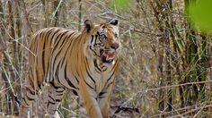 Bandhavgarh National Park in Madhya Pradesh has the highest population density of tigers in the world. #TravelToIndia | #MadhyaPradesh | #Tiger (Photograph by flickr user elkhiki)