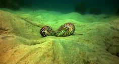 Hewan Cantik Langka Nautilus, Chepalopoda Purba