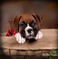 Too cute. My son wants another boxer.