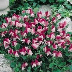 Sweet Pea, Cupid Pink, CUPID PINK Dwarf Sweet Pea Seeds Wonderfully fragrant 1 inch rose-pink and white bicolor flowers. The bushy, 2 foot plants are heavy blooming and are perfect for edging, containers or hanging baskets.