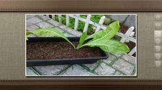Segundo o agrônomo Chukichi Kurosawa, provavelmente as sementes do almeirão estavam misturadas às de salsa e aipo que foram plantadas pela Rosane Coutinho, do Rio de Janeiro.