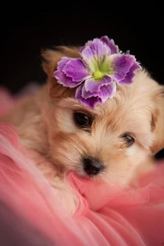 morkie puppy :). Oh dear heavens, I might need one of these dogs