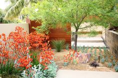 Love the combination of orange Kangaroo Paws and the Mesquite Tree. Best to get the  Velvet variety, as they area native to the Sonoran Desert, have less diseases and the roots are deep unlike the Chilean variety. Design by Debora Carl Landscape Design.
