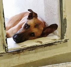 "Still there- ""review"" date 1/8 (day he is expected to be put down). Handsome shepherd growing increasingly depressed after weeks in shelter"