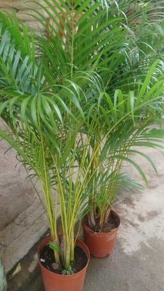 Areca Palm-Indoor, shade, not complete darkness, water twice a week, doesn't tolerate the cold well.