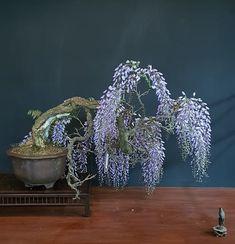 Gorgeous flowering Wisteria by Teunis Jan Klein #bonsai