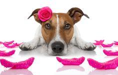 Обои на рабочий стол. Обои собака, funny, romantic, cute, love, heart, dog, rose скачать.