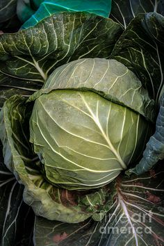 Cabbage Head: See more images at http://robert-bales.artistwebsites.com/
