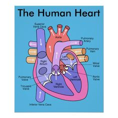 Science Matters: Body Systems: Cardiovascular System: Heart Diagram Roundup Check out the website to see Human Heart Diagram, Diagram Of The Heart, Heart Anatomy, Heart Poster, Nursing School Notes, Human Anatomy And Physiology, Medical Anatomy, Medical Coding, Body Systems
