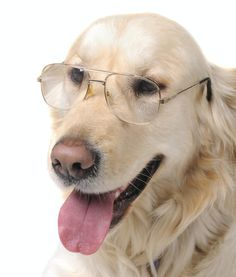 10 Cool Facts About Golden Retrievers Golden Retriever Is Considered 4th Smartest Dog Breed     Looks and brains: Golden retrievers really have it all. These friendly family dogs are also whip-smart. According to conventional wisdom, they are the fourth-smartest breed of all, trailing only border collies, poodles and German shepherds