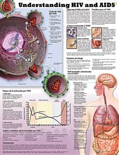 Understanding HIV and AIDS anatomy poster describes and graphs what happens to T-cells and HIV RNA during the stages of HIV infection.