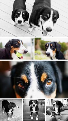 Entlebucher Mountain Dogs - This is my Belle <3