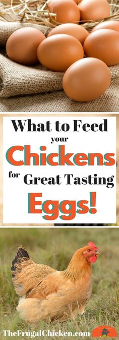 So you have chickens...but do you know how to get GREAT eggs from them? Read on to discover how to get great eggs from your hens!