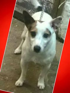 This Jack Russell was found last Wednesday (20/04/16) in Highfield, Gateshead. Chipped, now at Cleadon Kennels . If you have any information please contact: (0191) 5292369.