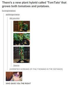 Hetalia -- Oh come on! It's the plant personnification of Gerita!) and Italy loves tomatoes! Hetalia Funny, Hetalia Anime, Spamano, Hetalia Axis Powers, Cant Breathe, Kaichou Wa Maid Sama, You Draw, Homestuck, Tumblr Posts