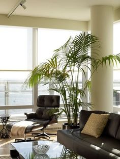 Best Indoor Palms: kentia palm, sentry palm, lady palm and parlor palm...  Requires steady supply of H20, light fertilizer once a month and bright but indirect sunlight.