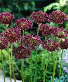 Metallic luster from A. cristophii, dark color and height from A. May/June. Metallic Luster, Spring Bulbs, Bulb Flowers, Container Flowers, Allium, Dark Colors, Container Gardening, Perennials, Tulips
