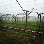 Moon Drops are pruned and ready for bud break!