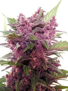 Beautiful buds - #Marijuana #Cannabis #maryjane