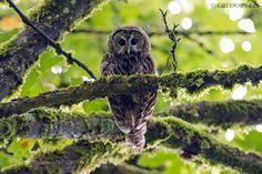 Wet Barred Owl by grzegorz_lis1 For photography advice check www.amateurnikon.com