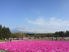 Mt Fuji during the Pink Moss Festival