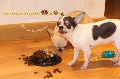 comida y premios chihuahuas