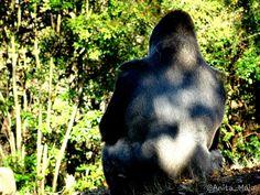 Gorilla lomo blanco. Atlanta zoo. GA- USA.