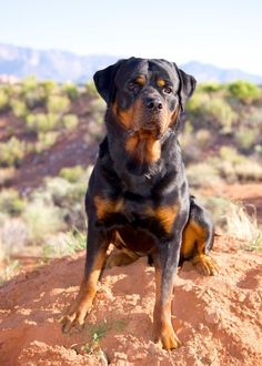 Kilo - #Rottweiler   ...........click here to find out more     http://googydog.com--GORGEOUS