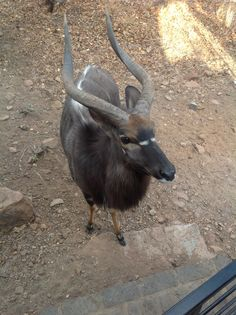 Nyala bull at the Mabalingwe lodge came to visit. Goats, Beautiful People, Africa, Animals, Goat, Afro