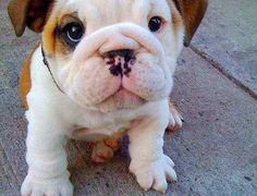 I dont know what it is about chubby little bulldogs that melts my heart. <3