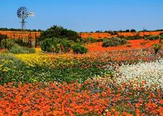 namaqualand flowers 2020 - Google Search South African Flowers, Wild West, West Coast, Vineyard, Painting, Outdoor, Sketching, Image, China
