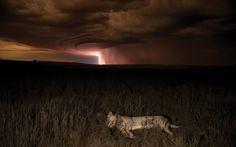 A lion sleeps under a lightening-filled sky.Picture: Hannes Lochner/Barcroft Media