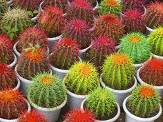 Foto gratis: Cactus, Macetas, Espinas, Planta - Imagen gratis en ...