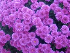 Types of Purple Flowers | Button mums fall flower pictures
